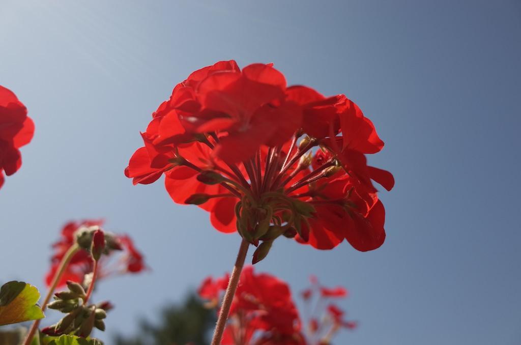 リコーのGRで6月のかわいらしい花を撮影してみました